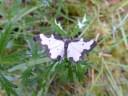 Clouded Border moth (Lomaspilis marginata)