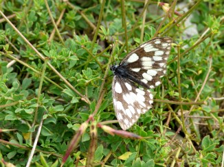 Marbled White butterfly ()