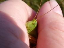 Got bitten not long after this photo! Great Green Bush Cricket (Tettigonia viridissima)