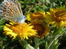 Blue butterfly sp