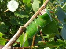 Puss Moth caterpillar (Cerura vinula)