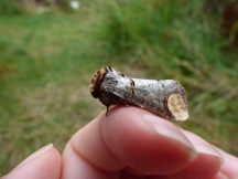 Buff-tip moth (Phalera bucephala)