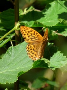 Silver-washed Fritillary butterfly (Argynnis paphia)