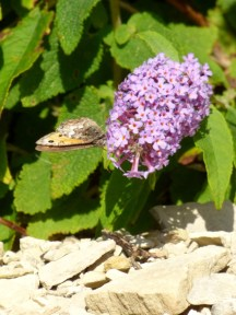 Grayling butterfly (Hipparchia semele)