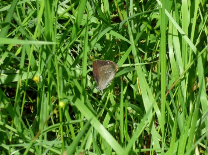 Purple Hairstreak butterfly (Favonius quercus)