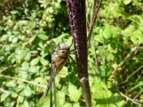 Migrant Hawker dragonfly (Aeshna mixta)