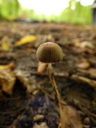 A tiny fungi in the middle of a path - probably squished by now :(