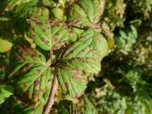Rust fungus (Phragmidium violaceum) on bramble