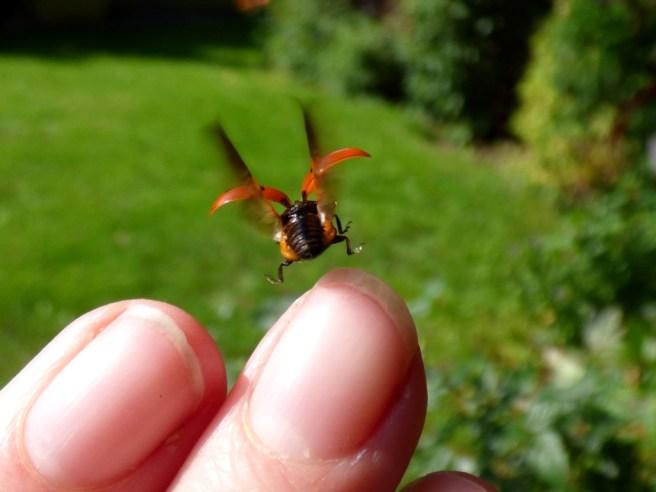 7-spot Ladybird (Coccinella 7-punctata), take off!
