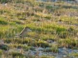 Wheatear (Oenanthe oenanthe)