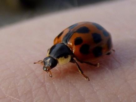 Harlequin ladybird (Harmonia axyridis, f.succinea)