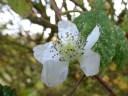 Bramble in flower!