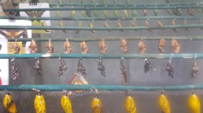 Pupae with a couple of recently emerged butterflies