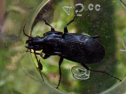 Beetle, Abax parallelepipedus