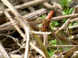 Common Darter Dragonfly (Sympetrum striolatum)