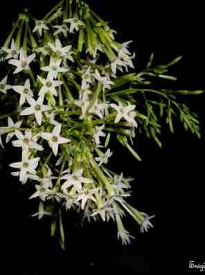 نبات ملكة الليل