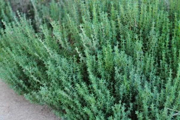 نبات الزعتر