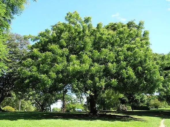 شجرة النيم