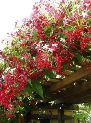 نبات الياسمين الأحمر