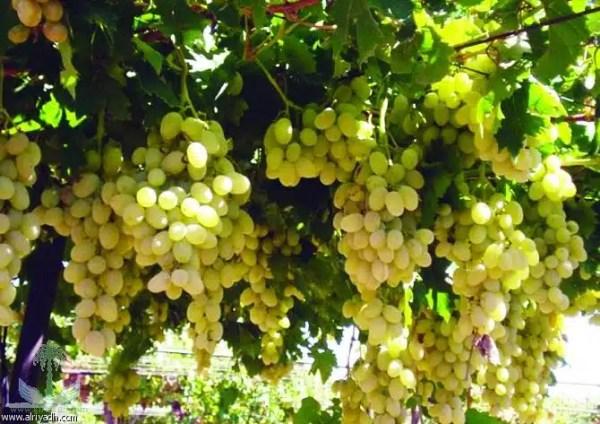 نبات العنب الطائفي