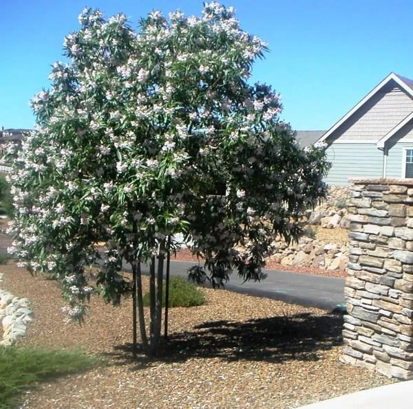 شجرة الدفلة البيضاء