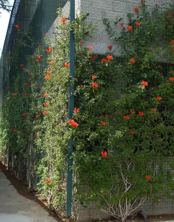 نبات تيكوماريا