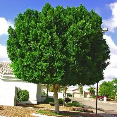 شجرة فيكس امريكي