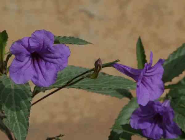 نبات الرويليا