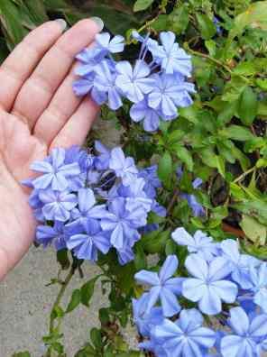 نبات الياسمين الازرق