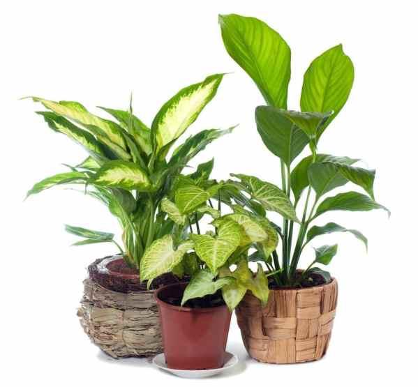 نبات دفنباخيا كاميلا