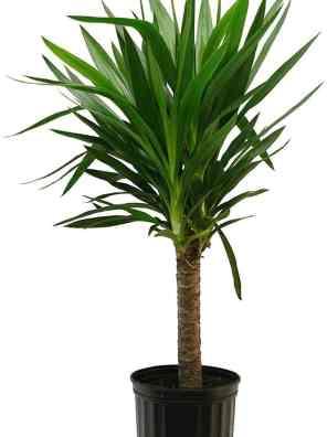 نبات اليوكا