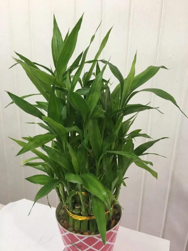 نبات ساق البامبو