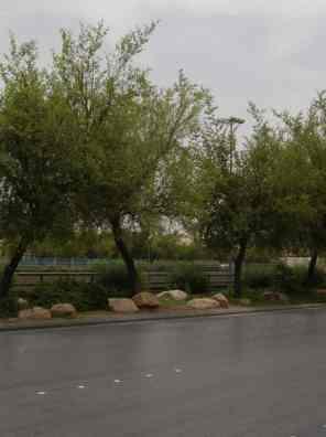 شجرة السدر الصيني