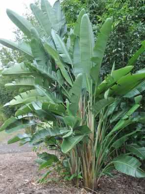 نبات عصفور الجنة
