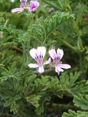 نبات العطرة