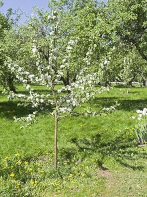 شجرة التفاح البلدي