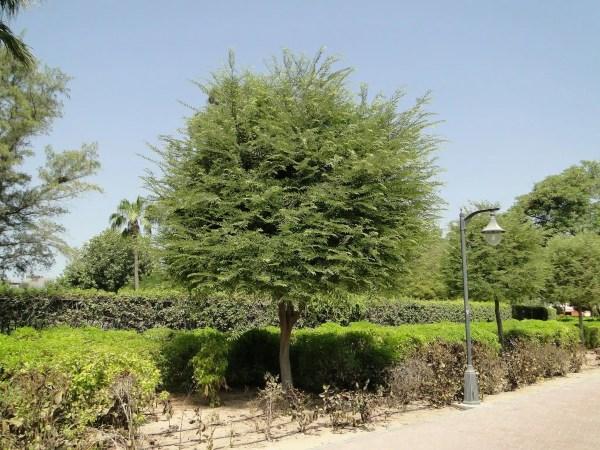 شجرة تمر هندي