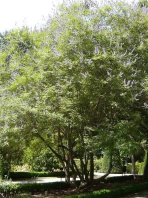 شجرة كف مريم