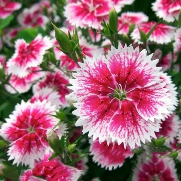 زهور قرنفل صينى
