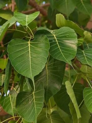 شجرة لسان العصفور