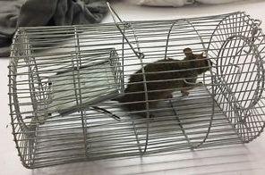 مصيدة فئران حديد