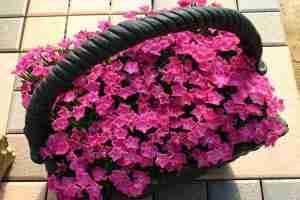 NH-15 花はなローズ