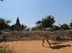 Moments such as when a herd of cows crossing the road truly give you a sense of Myanmar's past.