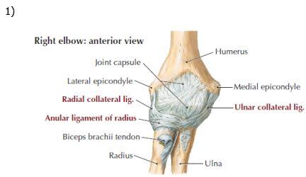Elbow Anatomy - MSK Learning Porfolio