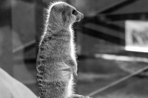 Сурикат в зоопарке Рима