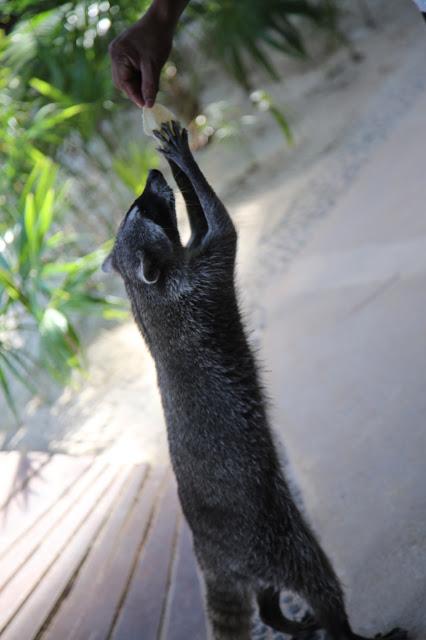 raccoon, hotel las nubes,  holbox,yucatan, mexico