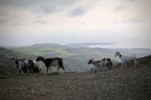 Goats, Cyprus pic: Kerstin Rodgers/msmarmitelover.com