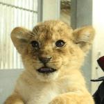 ようこそ仙台へ・八木山動物公園に2頭の子供ライオンがやってくる「サン」と「なお」