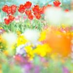 登米市「米山チューリップまつり」2019.4.21~5.5 花言葉 親指姫って…