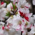 花桃「源平咲き分け」格別の美しさ 苗木・育て方・剪定・花言葉